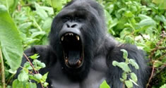 mountain-gorilla-in-uganda