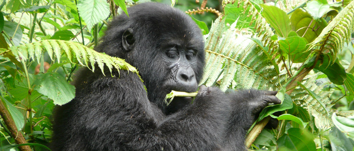 Mountain Gorilla Feeding in Bwindi Forest - Uganda