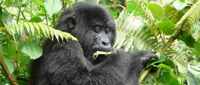 Mountain Gorilla Feeding in Bwindi Forest - Uganda