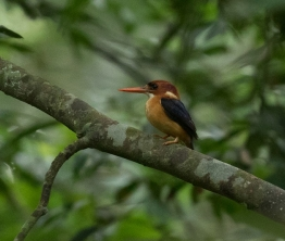 Birding? Don't Miss Budongo Forest in Uganda