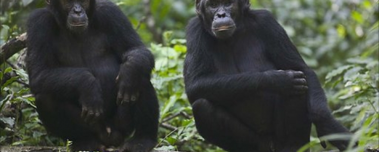 Chimpanzee and Gorilla Habituation Experience In Uganda