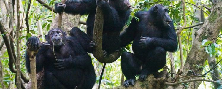 Hot 5 Spots for Chimpanzee Tours in Uganda