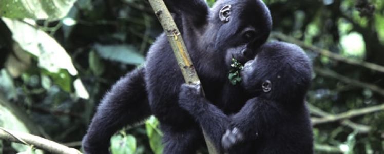 Uganda Tour operators and Travel Agents recognized the online gorilla tracking permits