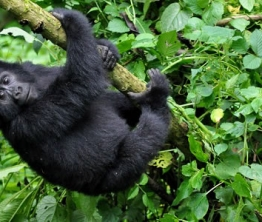 Rwanda Gorilla Permit Price Increased to US$1500